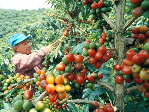 Producción de café en Colombia en mayo de 2017 — COLOMBIA