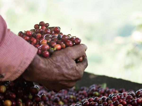 Producción cafetera cayó 11 % en enero